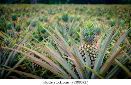 Pineapple fruit in farm, Sriracha, Chonburi, Thailand
