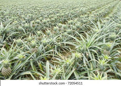 pineapple fruit field.