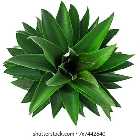 Pineapple fruit with green leaves view from above isolated on white background. Clipping Path. Full depth of field.
