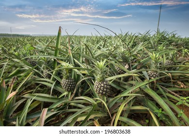 Pineapple fruit on the bush
