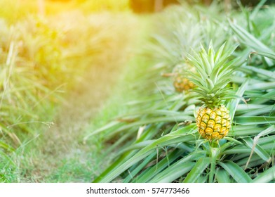 pineapple fruit on row of this,in the field / farm