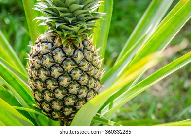 Pineapple in the garden
