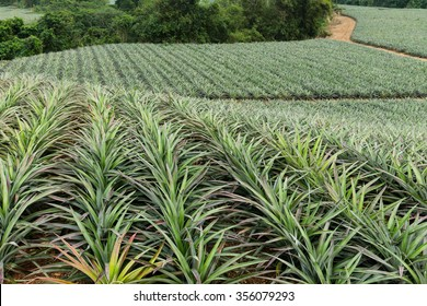 Pineapple in a garden Farms