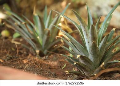 Pineapple green heads growing in soil closeup tropical garden Ananas comosus