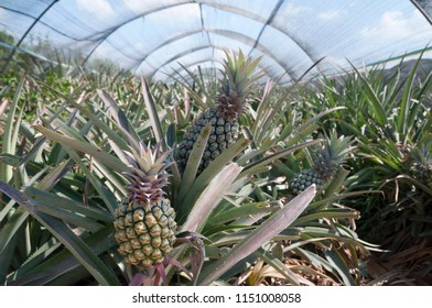 Pineapple grow in green house