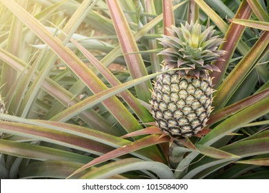 Pineapple growing in the field.