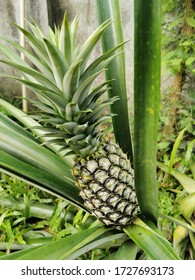 A pineapple is growing in the garden
