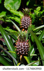 Pineapple growing on a tropical plant in Hawaii
