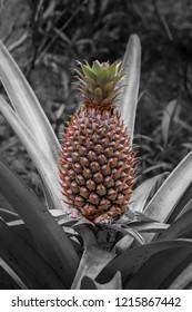 Pineapple growing wild