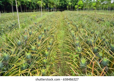 Pineapple grown between in rubber plantation.