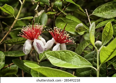 """""""Pineapple Guava"""" Feijoa sellowinia, commonly known as Pineapple Guava, part of the Myrtle family. A  May bloomer producing edible flowers. Originally from South American, this one was spotted in SC."""