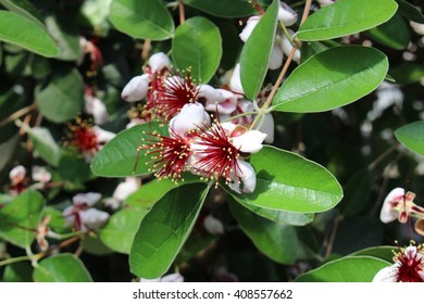 """Pineapple Guava fruit"" flowers (or Feijoa, Guavasteen) in St. Gallen, Switzerland. Its scientific name is Acca Sellowiana, native to Brazil, Paraguay, Argentina and Colombia."
