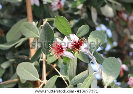 Pineapple Guava Fruit Images