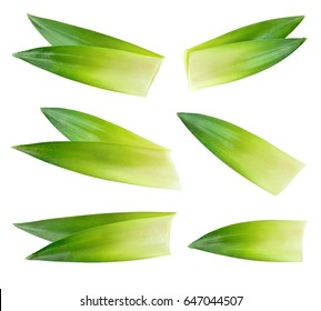 Pineapple leaves isolated on white background. Fresh green leaves collection. With clipping path. Full depth of field.