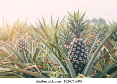 Pineapple on the farm at sunlight.