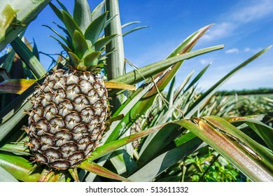 pineapple on pineapple field.