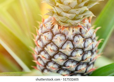 pineapple on pineapple field,Close up pineapple.