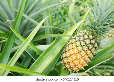 pineapple on pineapple field.Farm agriculture concept.