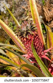 Pineapple on Pico Island, Azores, Portugal
