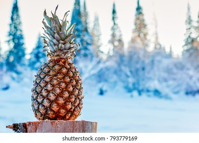 Pineapple on the stumps. Tropical fruit in the evening sunny sunset in frosty snow-covered forest. Horizontal photo.