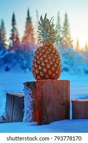 Pineapple on the stumps in winter wood. Tropical fruit in the evening sunny sunset in frosty snow-covered forest. Vertical photo.