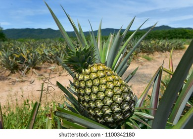 Pineapple on tree in open farm outdoor