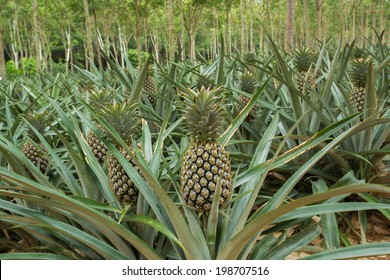 Pineapple plant field in rubber garden