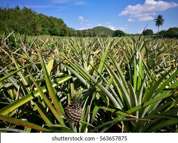 pineapple plant field in Thailand.
