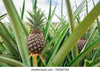 Pineapple plant field, Pineapple tropical fruit growing in garden