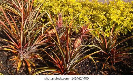 pineapple plant growing in Lanai, Hawaii