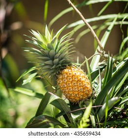 Pineapple plant with ripe fruit ready to be picked, detail from tropical organic farm