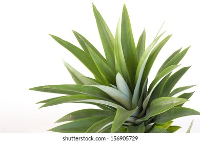 Pineapple plant top