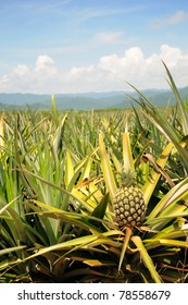 Pineapple in the plantation area under tropical area