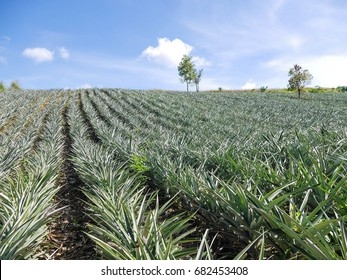 Pineapple plantation with blue sky.