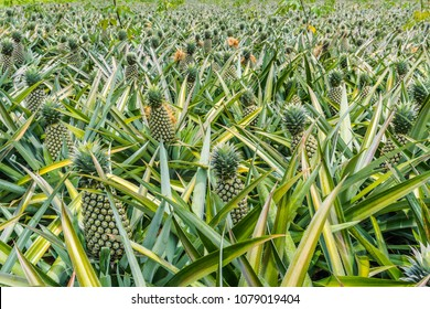 Pineapple planted in the farm,Pineapple fruits plantation in tropical.