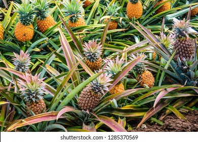 Pineapple plants in Hawaii with growing pineapples