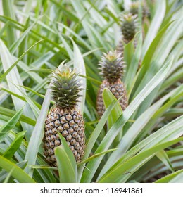 Pineapple thai farm