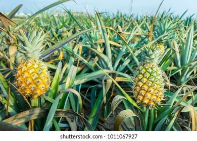 Pineapple Plant Images Stock Photos Vectors Shutterstock