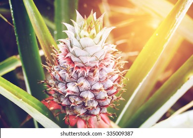 Pineapple tropical fruit growing in a farm. Vintage effect.