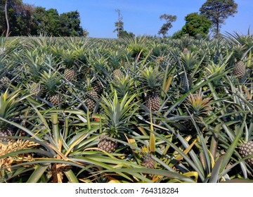 Pineapple tropical fruit growing in farm