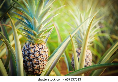 Pineapple tropical fruit growing in garden. space for texture