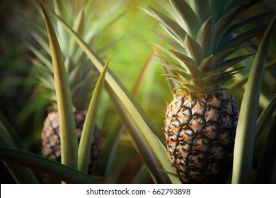 Pineapple tropical fruit growing in garden. space for texture, Dark tone