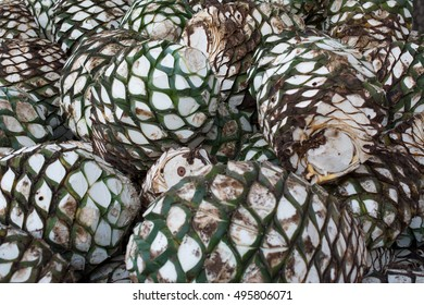 Pineapples or agaves head piled up in the warehouse of the tequila.