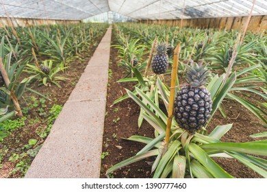 Pineapples in greenhouse on Sao Miguel island, Azores, Portugal