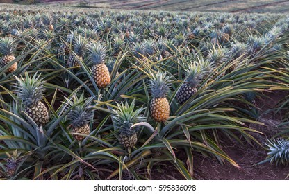 Pineapples growing on a farm near East London, South Africa.