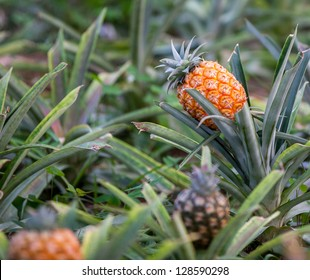 Pineapples growing on pineapple plant.