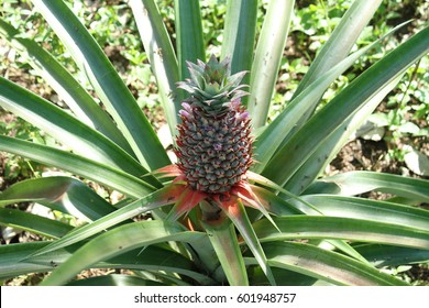 Pineapples growing in a plantation