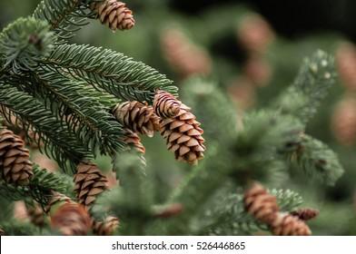 pinecone branch closeup