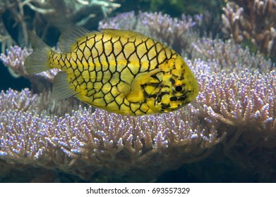 The Pinecone fish (Cleidopus gloriamaris) or Knight fish, Richelieu Rock Thailand,their body and skin like a pineapple