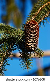 Pinecone on the drooping branches of a weeping  white pine (Coniferophyta Pinopsida Pinales  Pinaceae Pinus Pendula), the largest eastern conifer in North America.